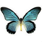 ONE REAL BUTTERFLY BLUE PAPILIO ZALMOXIS RCA UNMOUNTED WINGS CLOSED