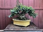 Yaupon Holly Bonsai Specimen
