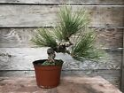 Japanese Black Pine Bonsai Specimen
