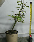 Japanese Green Maple Pre Bonsai Tree Acer palmatum