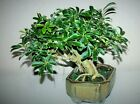 HEALTHY Schefflera Arboricola Hawaiian Umbrella BONSAI TREE Pauls Tropicals