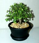 Healthy  Full BABY JADE SHOHIN BONSAI TREE PLANT  Pauls Tropicals