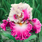 Gradient Features 2 Iris Bulbs Perennial Bearded Rhizome Bonsai Potted Plants