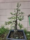 Bald cypress bonsai tree update lots new growth