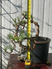 Pre Bonsai Tree Pitch Pine 15  With Plastic Nursery Container 8