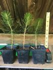 Japanese Black Pine Seedlings Pre Bonsai Starters 2nd Year 3 Plants