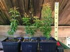Dwarf Japanese Maple Kotohime Pre Bonsai Starters Koto Hime 2nd Year 3 Plants