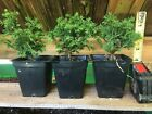 Japanese Dwarf Cryptomeria  Tansu  Pre Bonsai Starters 2nd Year 3 Plants
