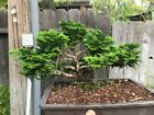 Hinoki Cypress bonsai Shohin