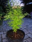 Bald Cypress for bonsai healthy thick trunk and roots