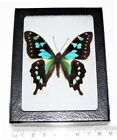 REAL FRAMED BUTTERFLY BLUE GREEN GRAPHIUM STRESEMANNI INDONESIA