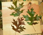 Rare Maple Oak tree seed ling quercus acerifolia fall bonsai acorn RaRe