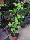 GINGKO BILOBA MAIDENHAIR PRE BONSAI TREE HEIGHT APPROX 65CM
