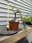 Willow Leaf Ficus Cascade Pre bonsai