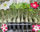 Adenium plant Desert Rose Succulent Bonsai seedling 5 Pack 3 Different Colors