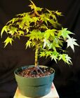 Pre Bonsai Japanese Maple Acer palmatum 14 years