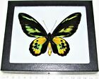 REAL FRAMED BUTTERFLY ORNITHOPTERA ROTHSCHILDI MALE GREEN GOLD BLACK BIRDWING