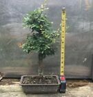 Chinese Elm Bonsai Tree Ulmus