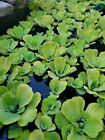 20 + Water Lettuce Live Floating Aquarium Plants 2 to 6 inches