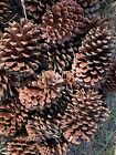 70 PINE TREE CONES MEDIUM LARGE SIZE APPROX 4 TO 5 NATURAL NEW