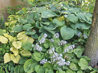 50 + TOTAL MIX HOSTA SEED 1000+KINDS,BLUE,YELLOW,GREEN, MULTI+MANY SIZES/SHAP