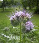 100 PHACELIA TANACETIFOLIA SEEDS Purple Tansy Fiddleneck Bees Friend Bienenfreun