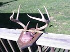 Whitetail Deer Antlers 8 Point on Wood Mounting Board