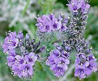 LACY PHACELIA FLOWER SEEDS - BULK