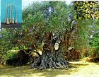 5 Green Olive Nabali Mohassan Tree Cutting