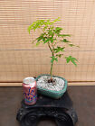 Japanese Maple Pre Bonsai Tree 1