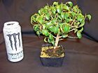 Ficus Too Little pre Bonsai Tree  nice compact dwarf variety 3