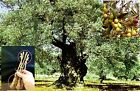 5 Green Olive ARBEQUINA Tree Cutting + 40 ARBEQUINA seeds