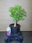 Collected Hackberry Pre Bonsai Tree1 1 2 trunk