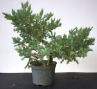 Chinese San Jose Juniper 6 pot for Bonsai 1705