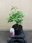 Collected Winged Elm Pre Bonsai Tree 1