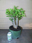 Collected Large Twin Trunk Hackberry Pre Bonsai Tree