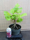 Collected American Sycamore Pre Bonsai Tree