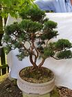 Triple Trunk Juniper Part Of Collection