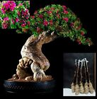 5 Green Bougainvillea Pink Pixie Tree Cutting