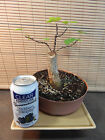 Collected Eastern Redbud Pre Bonsai Tree