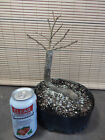 Collected Winged Elm Pre Bonsai Tree 3