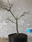 Green Japanese Maple Bonsai Tree pre bonsai