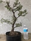 Cork Elm bonsai tree
