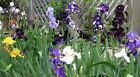 LOT 75 FRESH MIXED COLORS STYLES BEARDED IRIS RHIZOME FLOWER BULBS