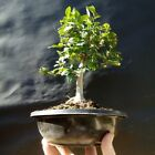 Chinese Elm Ulmus parvifolia Bonsai Approximately 14 years old plant