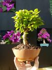 Bougainvillea Bonsai Approximately 14 years old plant