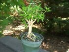 Serissa FoetidaShohin Mame Pre Bonsai stumpTree of a Thousand Stars 2