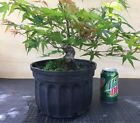 Cork Bark ArakawaJapanese Maple 5yr old 10 Pot