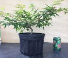Kiyohime Japanese Maple 7yr old 10 Pot