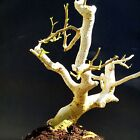 Ficus Wiandi Live Bonsai Natural bonsai for Professionals